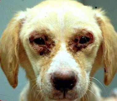 Brillenbildung bei einem Leishmaniose infiziertem Hund